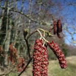 Red alder (Alnus rubra)