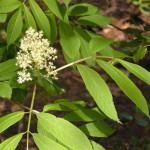 Red elderberry (Sambucus racemosa)