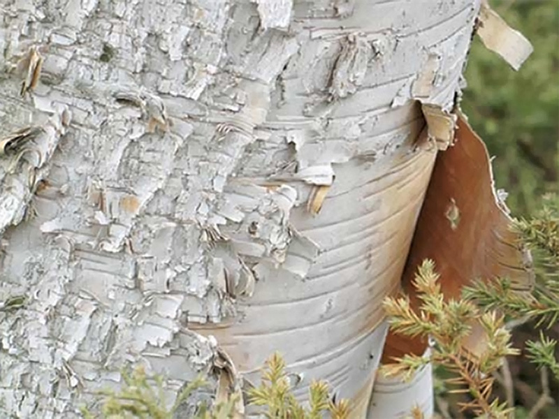 paper birch trees for sale See more synonyms betula papyracea family betulaceae genus betula can be deciduous trees or shrubs, usually colouring well in autumn and often with striking white, pink, or peeling brown bark separate male and female catkins open before or with the leaves in spring details b papyrifera is a deciduous tree of.