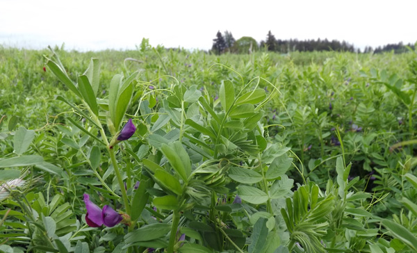 a healthy mix of cover crops at Headwaters Farm protects and builds up the soil