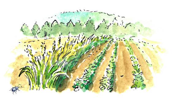 Illustration of a beetle bank along row crops. Beetle not to scale!