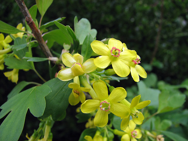 Golden currant (Ribes aureum), one of the many plants available in our 2017 Native Plant Sale
