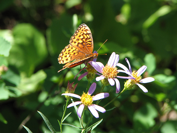 Fritillary butterfly on Douglas aster flowers
