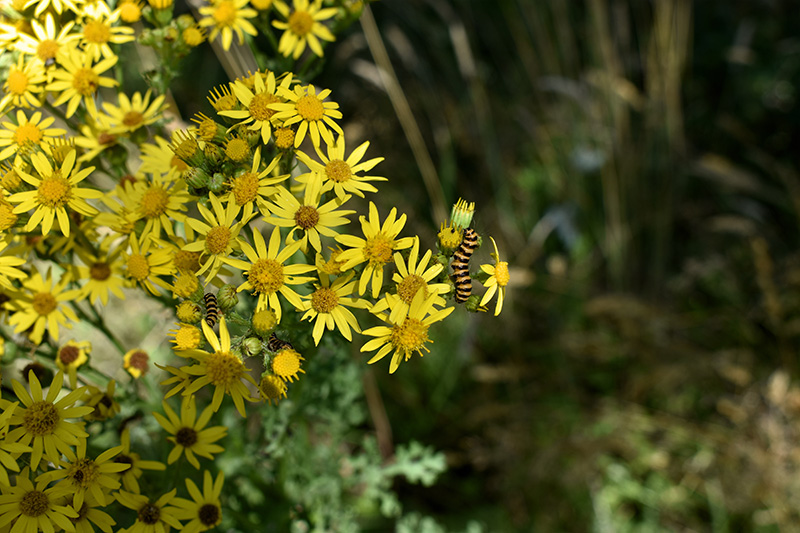 Tansy weed (Senecio jacobaea) in bloom with cinnabar moth caterpillars feeding on it