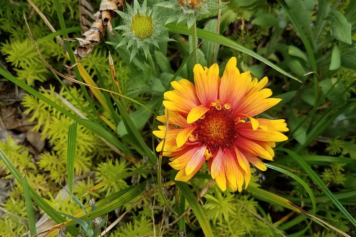 Blanket Flower Emswcd