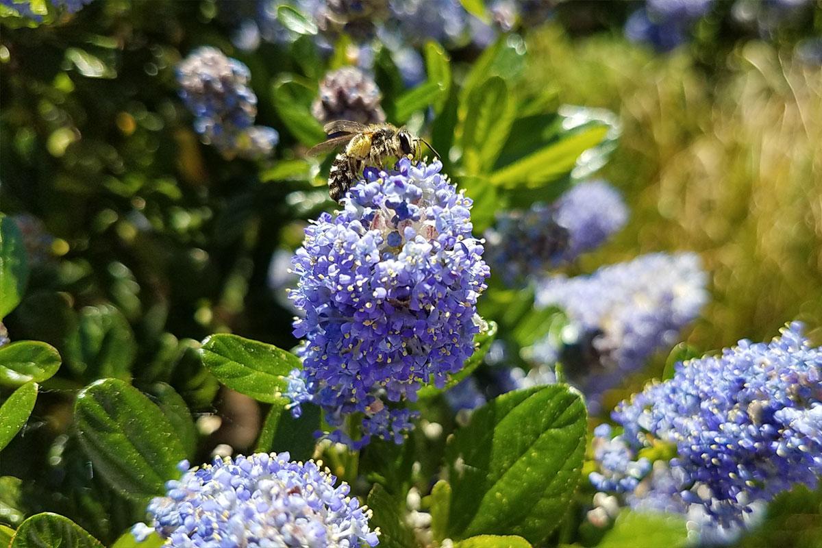 Blue blossum Ceanothus