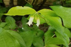 Fairy bell flowers
