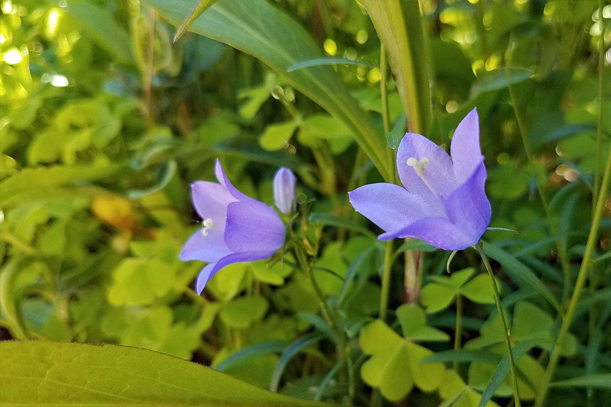 Harebell flowers