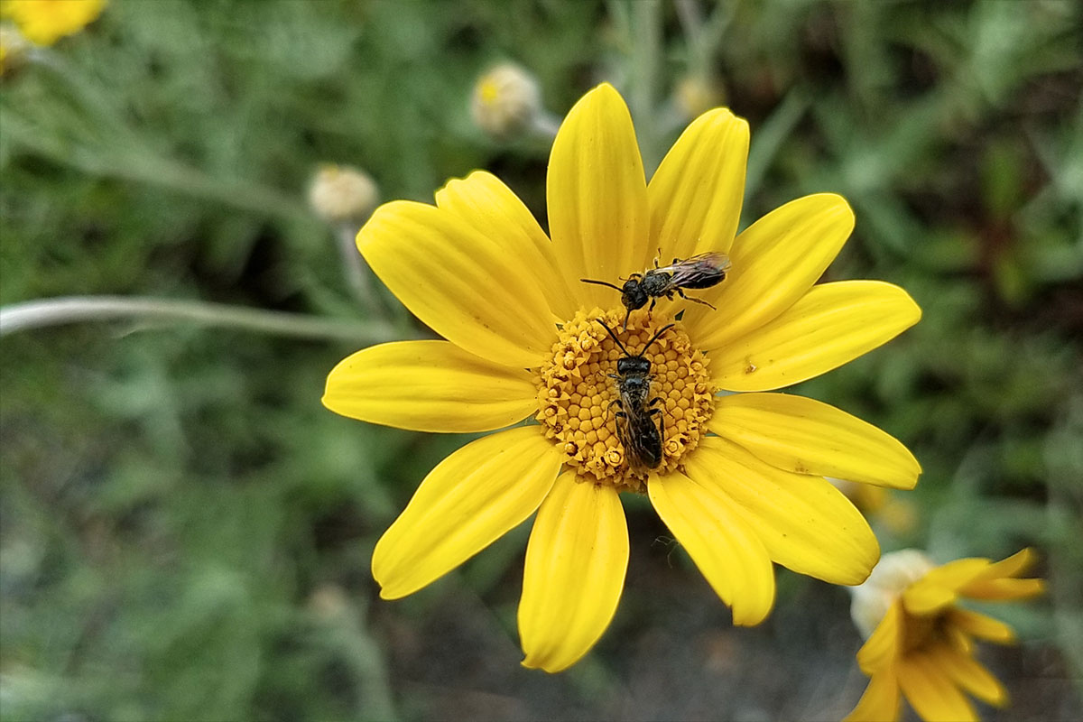Oregon sunshine and pollinators