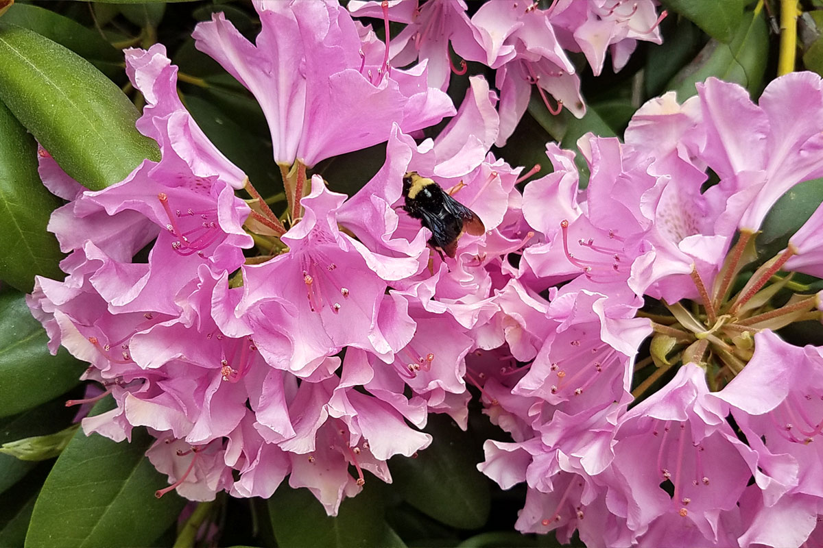 Rhododendron and yellow-faced bumble bee