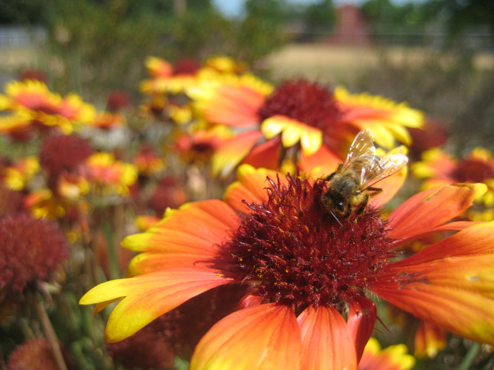 honey bee visiting blanket flowers