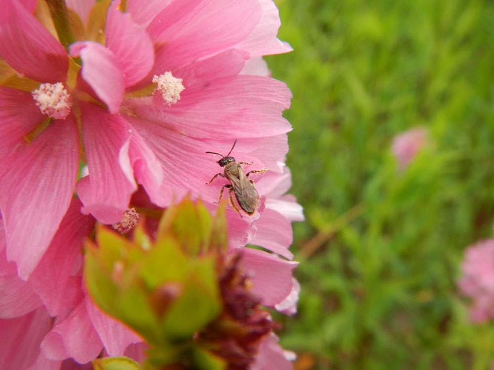 A native bee on a native plant, Cusick's Checkermallow