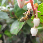 A honey bee visiting salal flowers