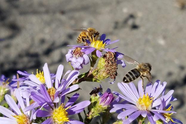 Honey bees visit late-blooming Douglas asters