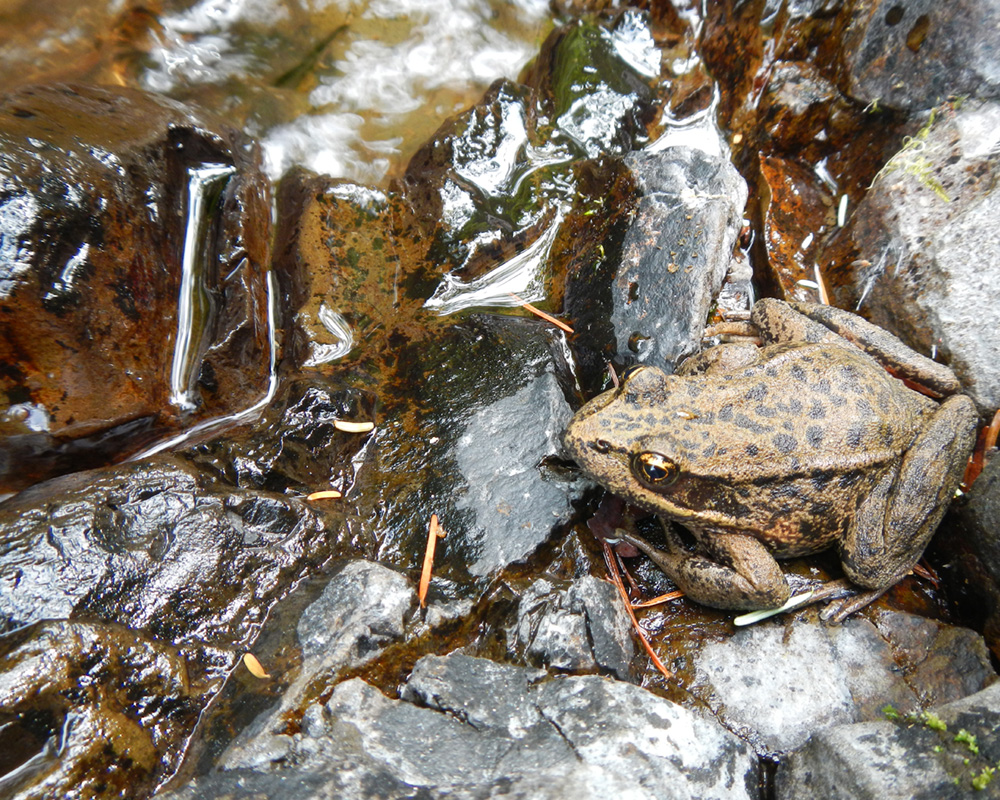 A red-legged frog sits in a stream.