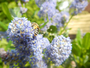 A bee visits the flowers on some blue blossom ceanothus