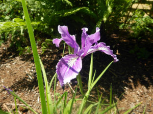 Oregon iris (Iris tenax), a species of Iris native to southwestern Washington and northwestern Oregon