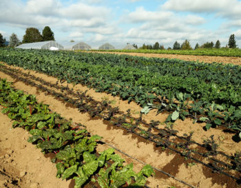 rows of vegetables at Headwaters Farm, and a row of greenhouses in the background