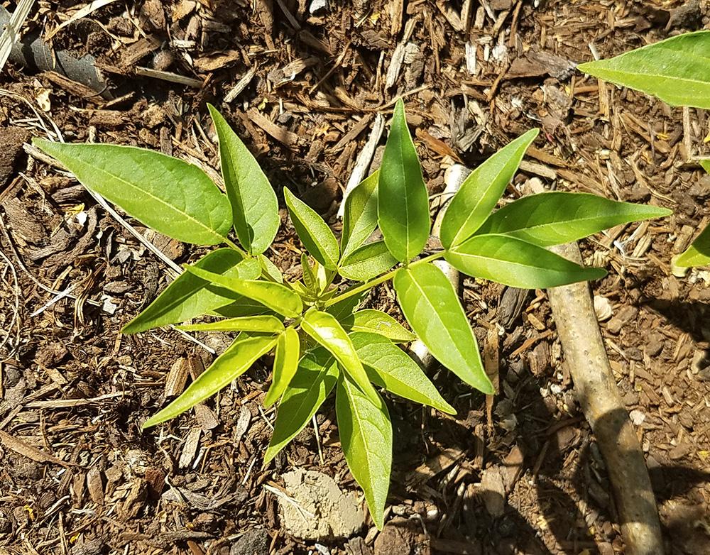 tree of heaven seedling