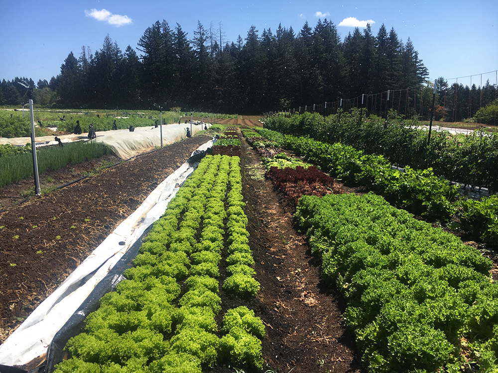 Rows of greens in the Farm Punk Salads plots at Headwaters Farm