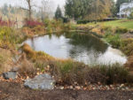 Native riparian planting for a spring fed pond on the Willamette river