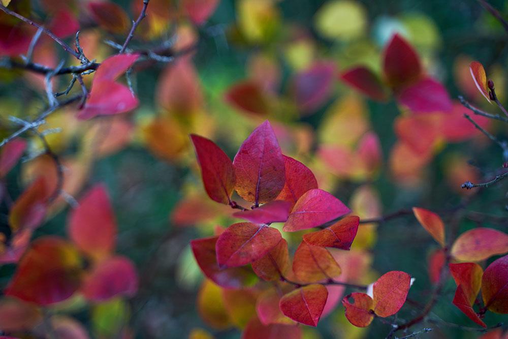 closeup of blueberry bush leaves