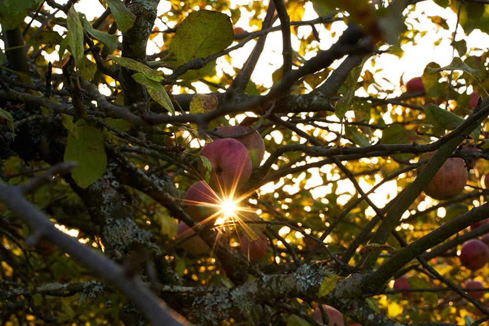 Mainstem orchard apple trees