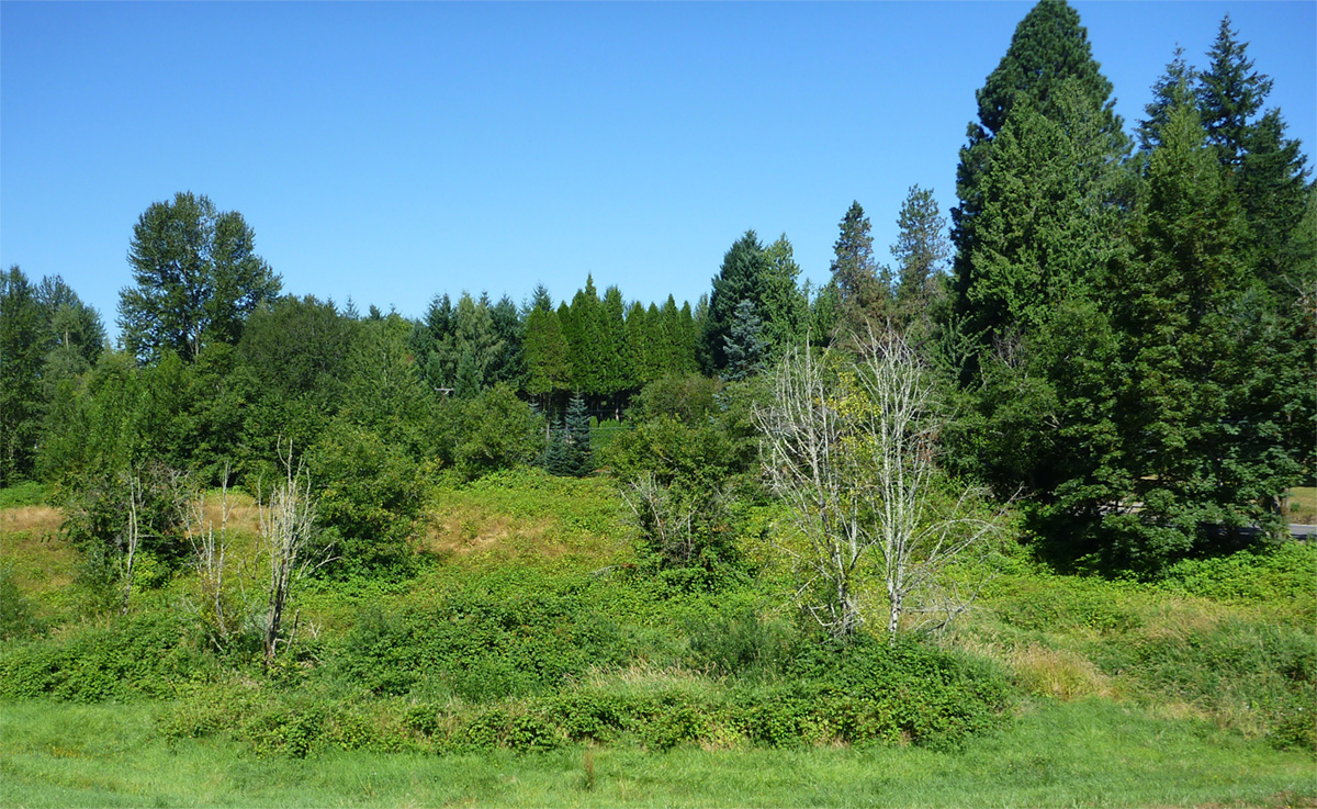 Before restoration, the site is filled with invasive weeds.