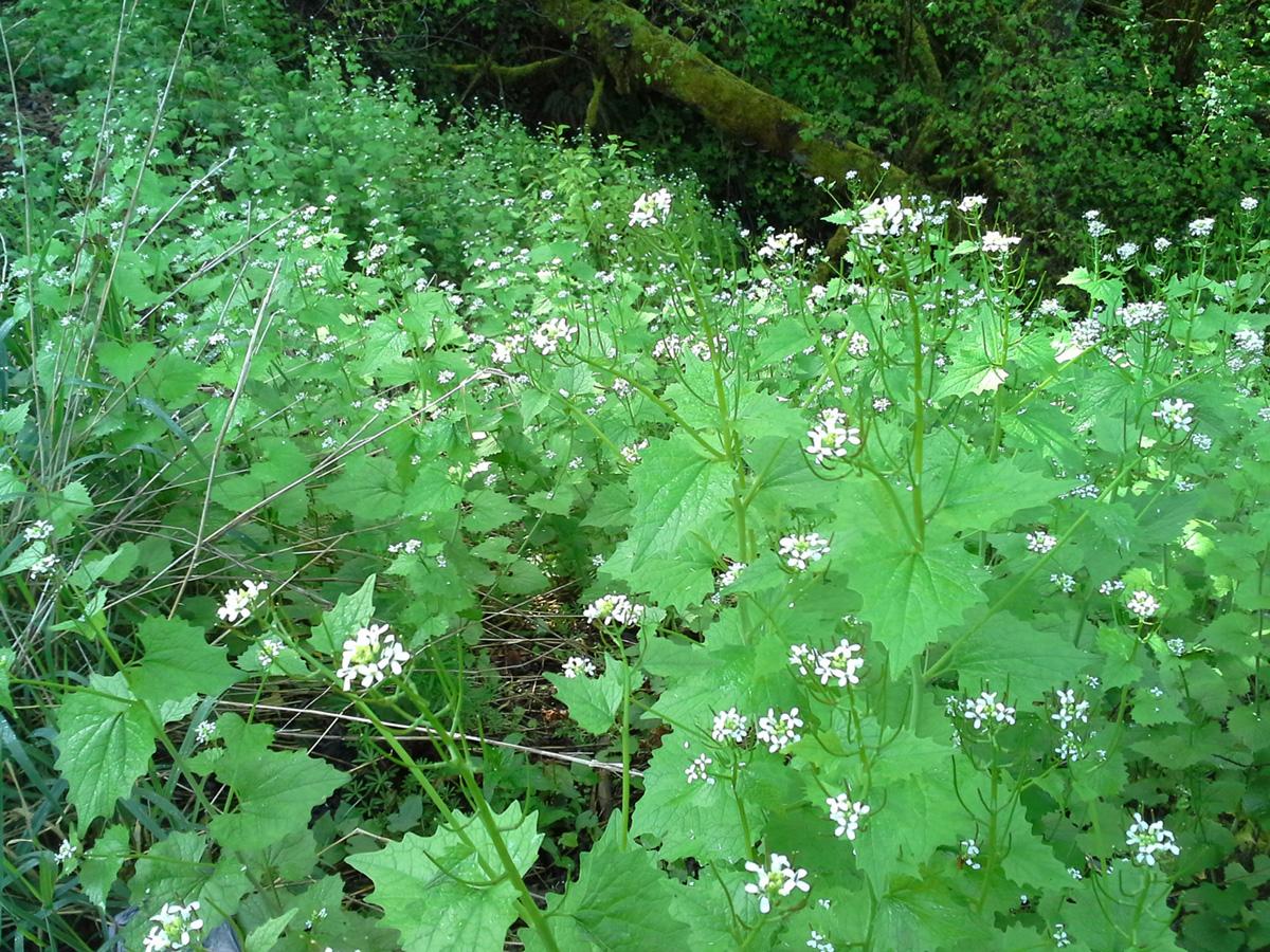 a field of invasive garlic mustard is flowering