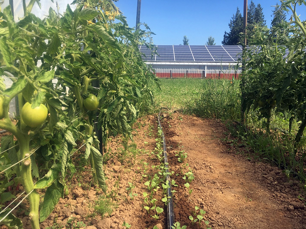 Rows of tomatoes are growing, green and not ripe yet, in the close-up foreground. Between the two vegetable rows in the distance, the solar panels on a structure are visible